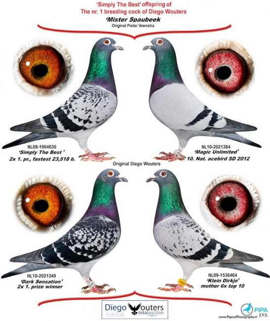 All of these pigeons were bred from Mr. Spaubeek x Superkweekster