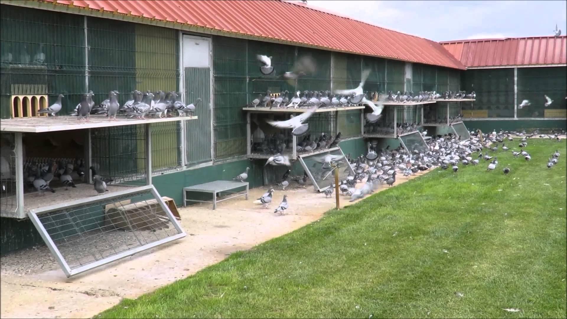 algarve pigeon